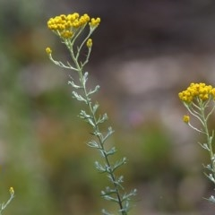 Chrysocephalum semipapposum (Clustered Everlasting) at Jack Perry Reserve - 30 Oct 2020 by Kyliegw