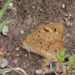 Heteronympha merope (Common Brown) at Coree, ACT - 30 Oct 2020 by DPRees125