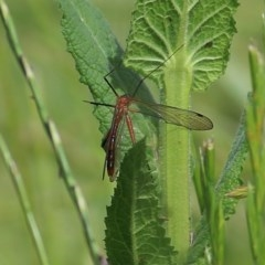 Harpobittacus australis (Hangingfly) at Jack Perry Reserve - 30 Oct 2020 by Kyliegw