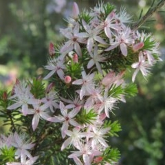 Calytrix tetragona (Common fringe-myrtle) at Conder, ACT - 19 Oct 2020 by michaelb