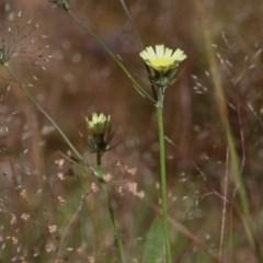 Tolpis barbata (Yellow Hawkweed) at Wodonga, VIC - 30 Oct 2020 by Kyliegw