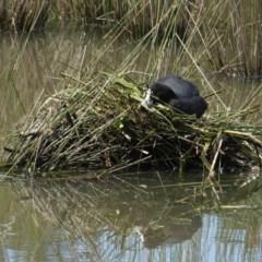 Fulica atra (Eurasian Coot) at Isabella Pond - 30 Oct 2020 by JackyF
