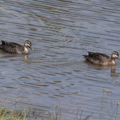 Anas superciliosa (Pacific Black Duck) at Isabella Pond - 30 Oct 2020 by JackyF