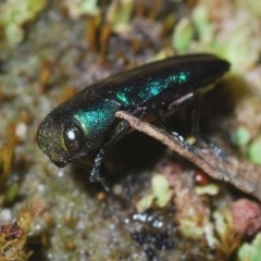 Melobasis thoracica (A jewel beetle) at Black Mountain - 30 Oct 2020 by Harrisi