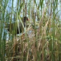 Gallinula tenebrosa (Dusky Moorhen) at Isabella Pond - 30 Oct 2020 by JackyF