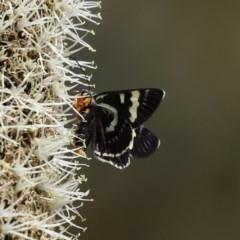 Phalaenoides glycinae at ANBG - 30 Oct 2020