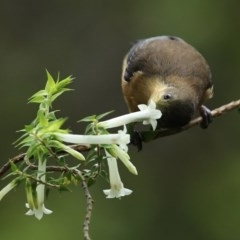 Acanthorhynchus tenuirostris (Eastern Spinebill) at ANBG - 29 Oct 2020 by RodDeb