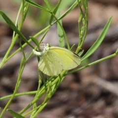 Eurema smilax (Small grass-yellow) at ANBG - 30 Oct 2020 by RodDeb