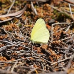 Eurema smilax at ANBG - 30 Oct 2020
