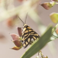 Asura lydia (Lydia Lichen Moth) at Bruce Ridge - 29 Oct 2020 by AlisonMilton