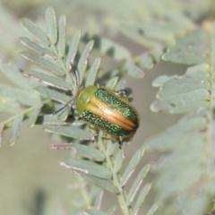 Calomela parilis (Leaf beetle) at Bruce, ACT - 29 Oct 2020 by AlisonMilton