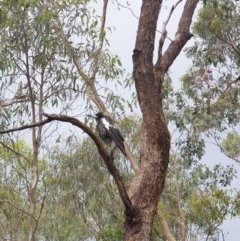 Gymnorhina tibicen (Australian Magpie) at Albury - 30 Oct 2020 by ClaireSee