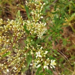 Bursaria spinosa (Native Blackthorn) at Albury - 30 Oct 2020 by ClaireSee