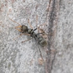 Myrmecia sp., pilosula-group (Jack jumper) at Bruce, ACT - 29 Oct 2020 by AlisonMilton