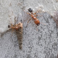 Podomyrma gratiosa (Muscleman tree ant) at Bruce, ACT - 29 Oct 2020 by AlisonMilton