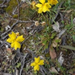 Goodenia pinnatifida (Scrambled Eggs) at Hughes Grassy Woodland - 29 Oct 2020 by JackyF