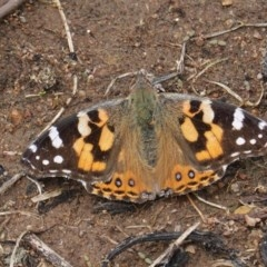 Vanessa kershawi (Australian Painted Lady) at Hughes Grassy Woodland - 29 Oct 2020 by JackyF