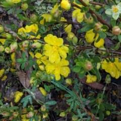 Hibbertia obtusifolia (Grey Guinea-flower) at Hughes, ACT - 31 Oct 2020 by JackyF