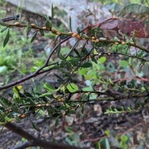 Phacelococcus bursaria at Red Hill Nature Reserve - 31 Oct 2020
