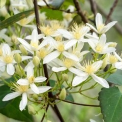 Clematis aristata (Old man's beard) at Wingecarribee Local Government Area - 11 Oct 2020 by Aussiegall