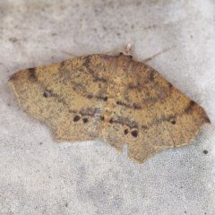 Rhinodia rostraria (Necklace Geometrid) at O'Connor, ACT - 23 Oct 2019 by ibaird