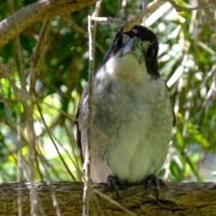 Cracticus torquatus (Grey Butcherbird) at Florey, ACT - 1 Nov 2020 by Kurt