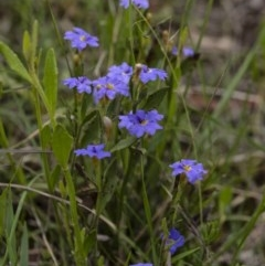 Dampiera stricta (Blue Dampiera) at Wingecarribee Local Government Area - 30 Oct 2020 by Aussiegall
