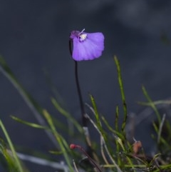 Utricularia dichotoma (Fairy Aprons, Purple Bladderwort) at Wingecarribee Local Government Area - 29 Oct 2020 by Aussiegall