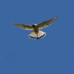 Falco cenchroides (Nankeen Kestrel) at Felltimber Creek NCR - 1 Nov 2020 by Kyliegw