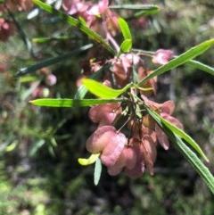 Dodonaea viscosa (Hop Bush) at Gossan Hill - 31 Oct 2020 by goyenjudy
