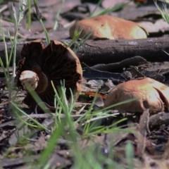 Unidentified Fungi (TBC) at Wodonga - 31 Oct 2020 by Kyliegw