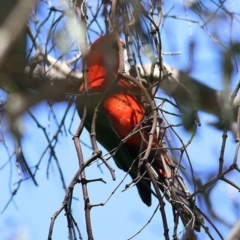 Alisterus scapularis (Australian King-Parrot) at Wodonga - 1 Nov 2020 by Kyliegw