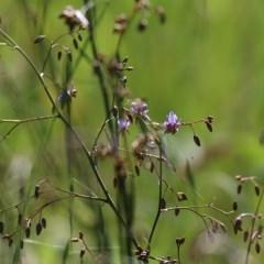 Dianella revoluta var. revoluta (Black-Anther Flax Lily) at Wodonga - 1 Nov 2020 by Kyliegw