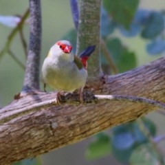 Neochmia temporalis (Red-browed Finch) at Wodonga - 1 Nov 2020 by Kyliegw