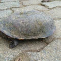 Chelodina longicollis (Eastern Long-neck Turtle) at Symonston, ACT - 1 Nov 2020 by CallumBraeRuralProperty