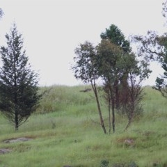 Callitris glaucophylla (White Cypress Pine) at Wodonga - 1 Nov 2020 by Kyliegw