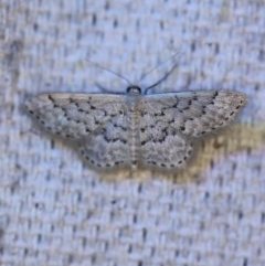 Idaea philocosma (Flecked Wave) at O'Connor, ACT - 27 Nov 2019 by ibaird