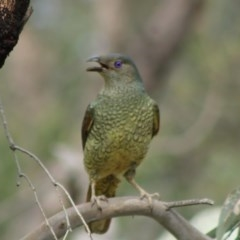 Ptilonorhynchus violaceus (Satin Bowerbird) at Red Hill Nature Reserve - 29 Oct 2020 by kieranh