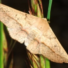 Antictenia punctunculus (A geometer moth) at Black Mountain - 30 Oct 2020 by Harrisi