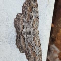 Ectropis excursaria (Common Bark Moth) at Isaacs, ACT - 1 Nov 2020 by Mike