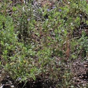 Erodium crinitum at Dryandra St Woodland - 2 Nov 2020
