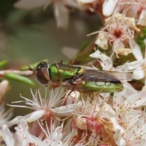 Odontomyia sp. (genus) at Tuggeranong Hill - 2 Nov 2020