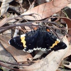 Eutrichopidia latinus (Yellow-banded Day-moth) at Acton, ACT - 1 Nov 2020 by RWPurdie