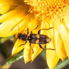 Eleale pulchra (Clerid beetle) at ANBG - 2 Nov 2020 by Roger