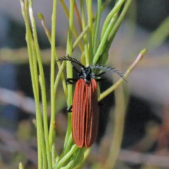 Porrostoma sp. (genus) (Lycid beetle, Net-winged beetle) at Dryandra St Woodland - 1 Nov 2020 by ConBoekel