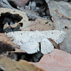 Taxeotis intextata (Looper Moth, Grey Taxeotis) at O'Connor, ACT - 1 Nov 2020 by ConBoekel