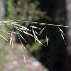 Rytidosperma pallidum (Red-anther Wallaby Grass) at Dryandra St Woodland - 1 Nov 2020 by ConBoekel