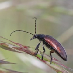 Homotrysis cisteloides (Darkling beetle) at Dryandra St Woodland - 1 Nov 2020 by ConBoekel