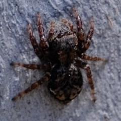 Servaea sp. (genus) (Unidentified Servaea jumping spider) at Uriarra Village, ACT - 2 Nov 2020 by Kurt