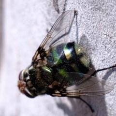 Rutilia (Chrysorutilia) sp. (genus & subgenus) (A Bristle Fly) at Lower Cotter Catchment - 2 Nov 2020 by Kurt